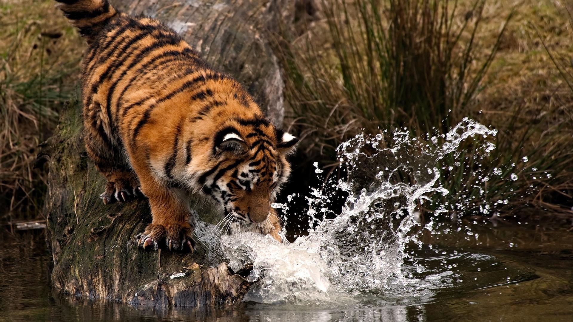 Tapeta Na Monitor Zvirata Tygr Za Rev Svetle Zbarveni