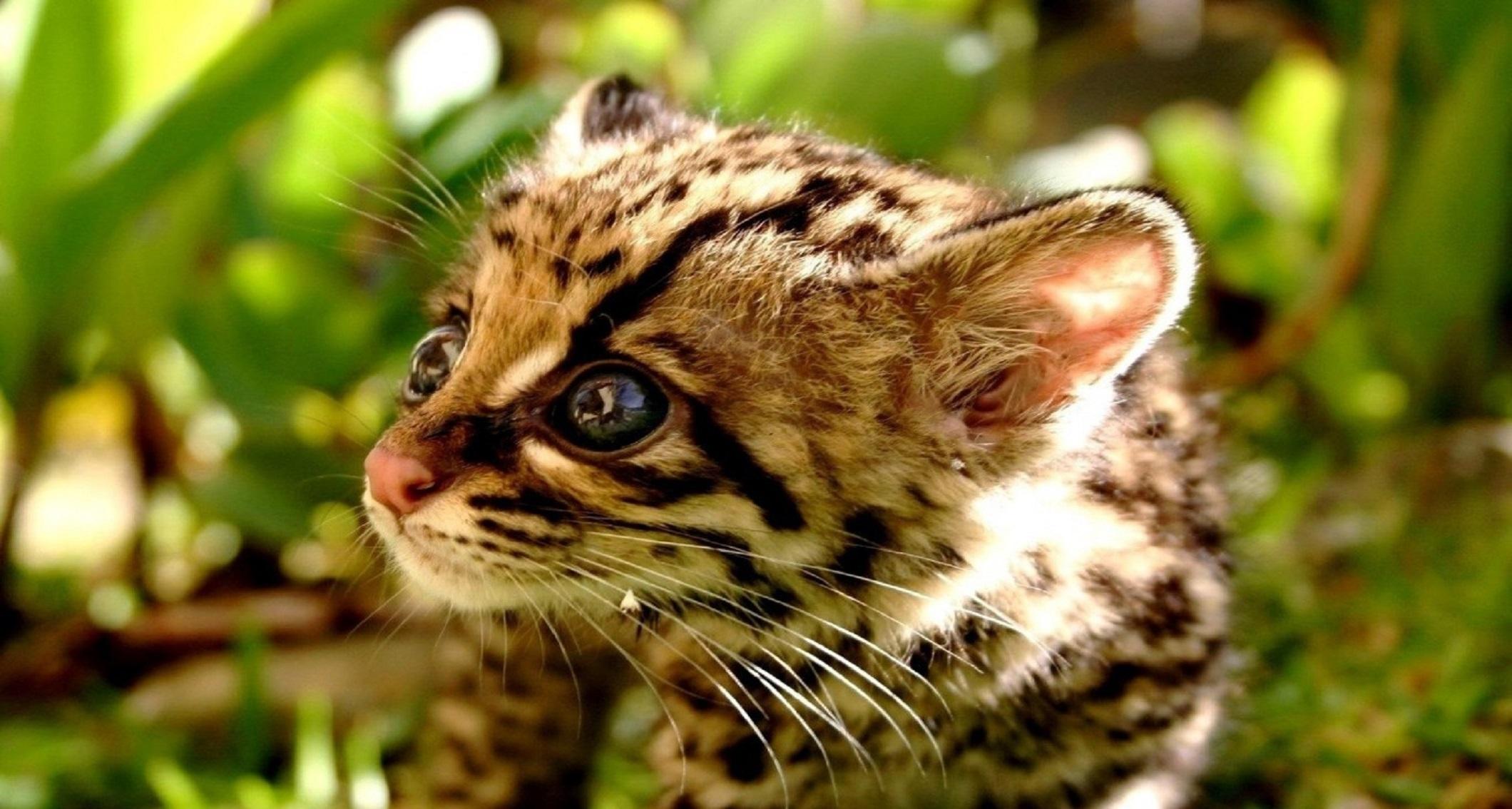 Обои детеныш леопарда, Милая мордашка. Животные foto 6