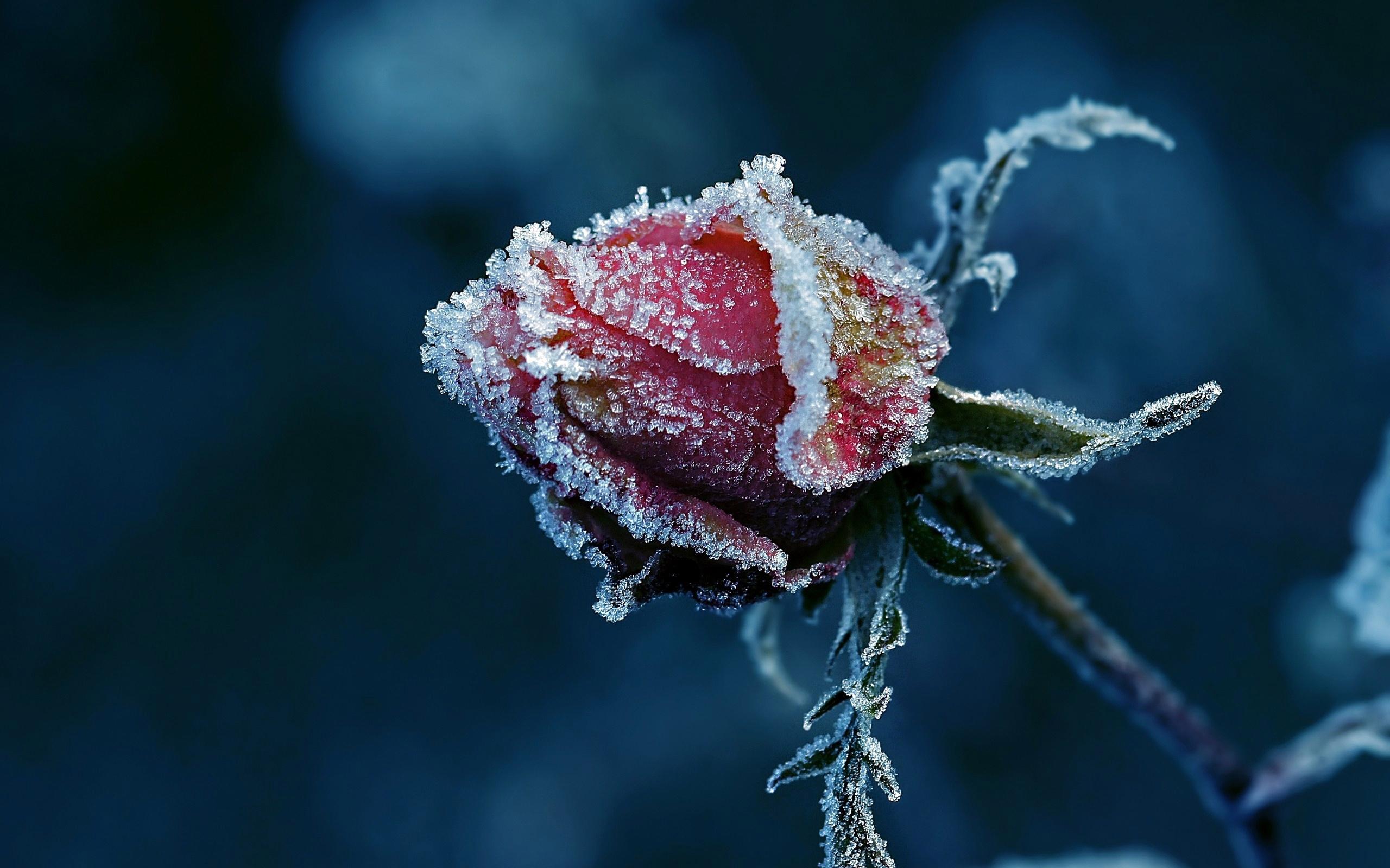 Обои цветок, цветы, иней, обои, Мороз. Макро foto 17