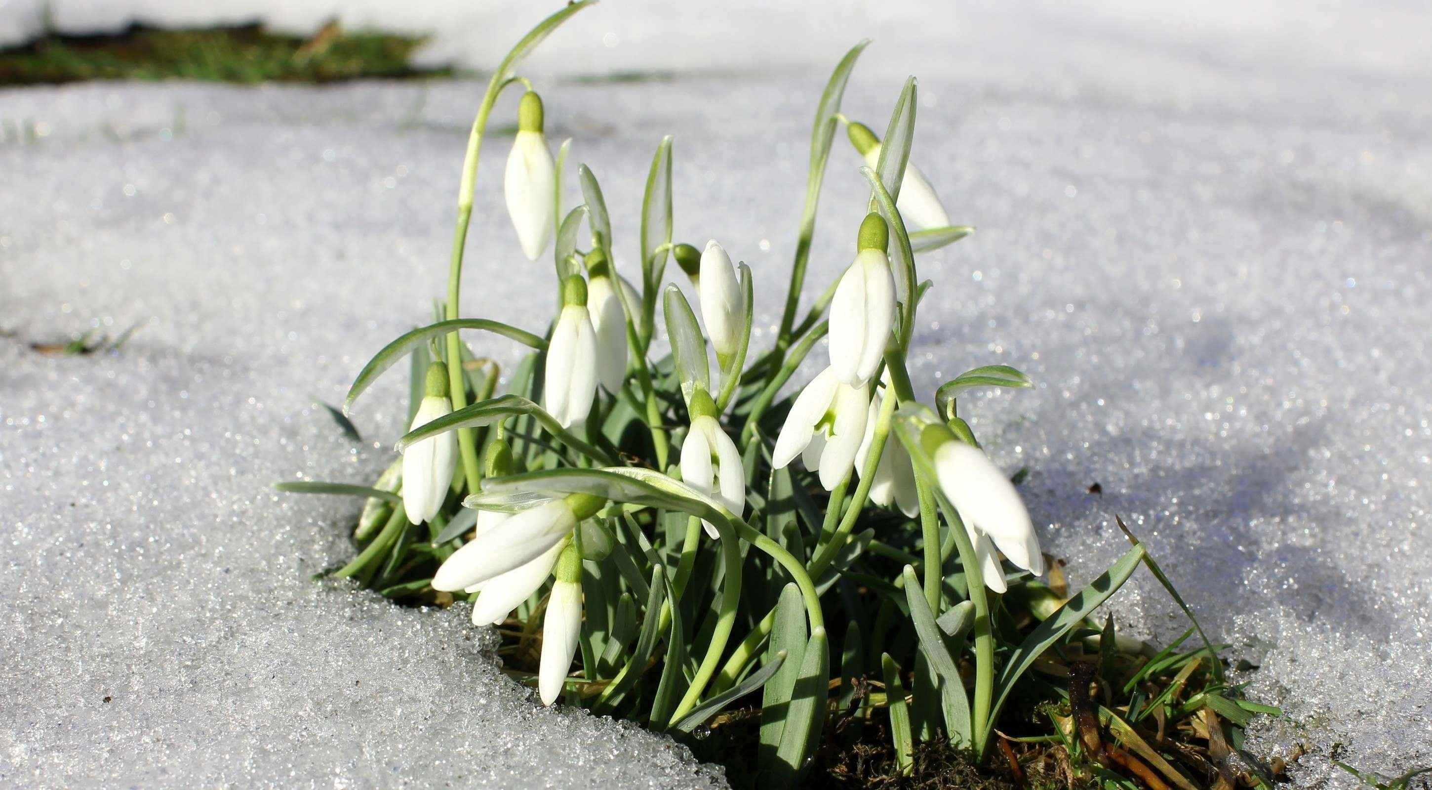 Download wallpapers macro greens snowdrops bells blur for