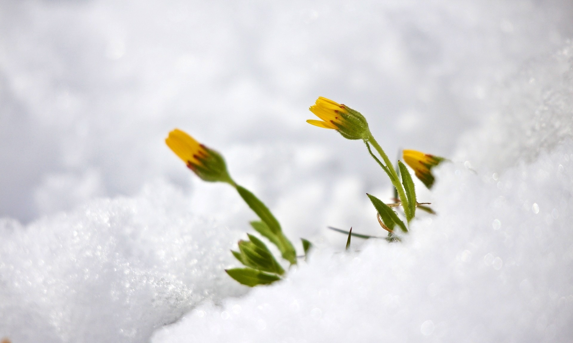 Wallpaper Spring Photo Picture Flowers Snow Spring