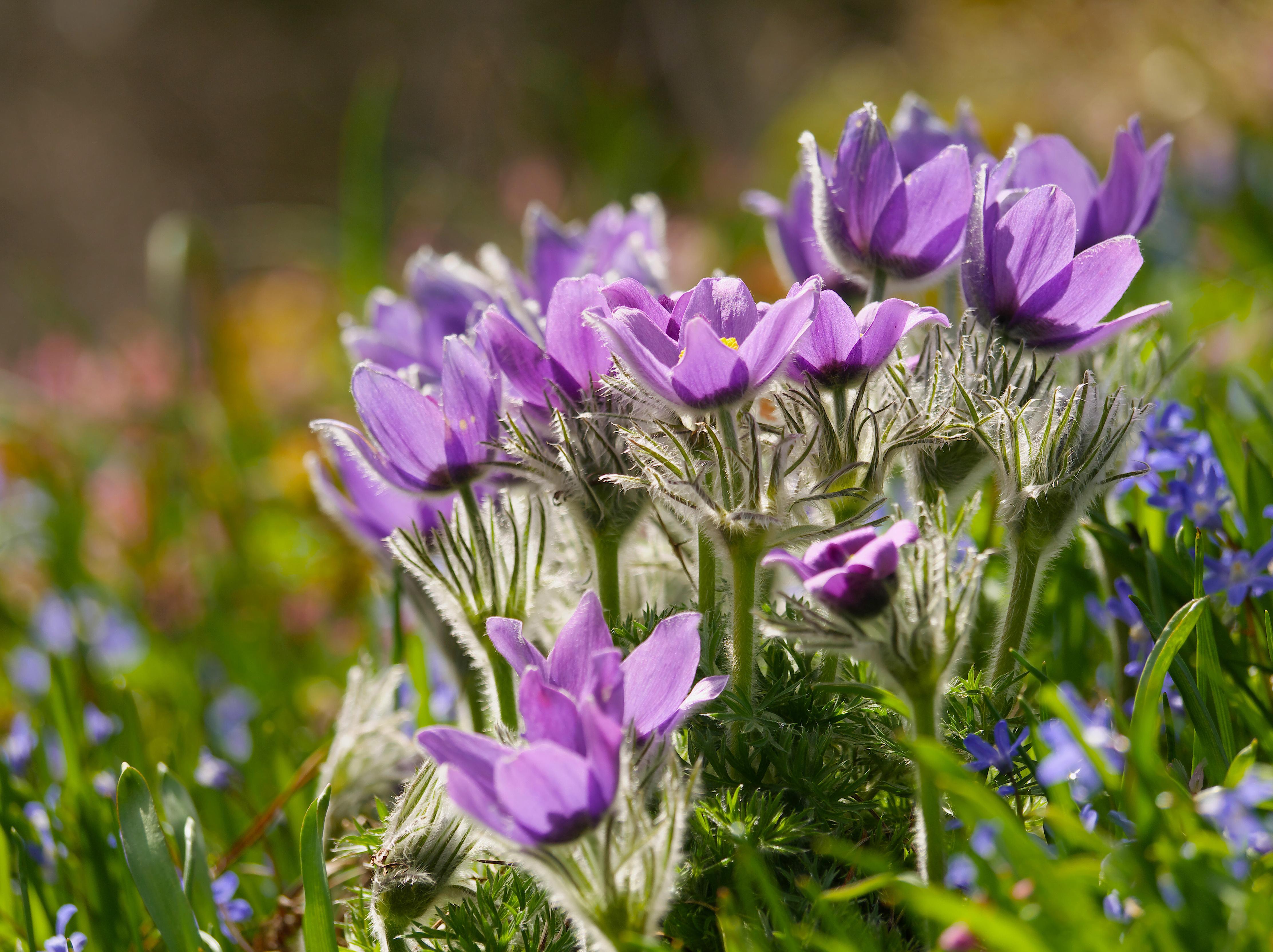 Обои сон великий, первоцвет, Весна, цветок. Цветы foto 16