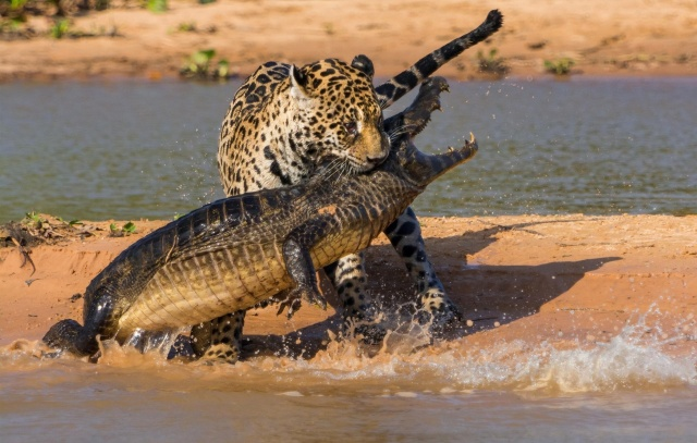 nature, the opposition, Jaguar, alligator, river, the pond, fight, fight, beautiful