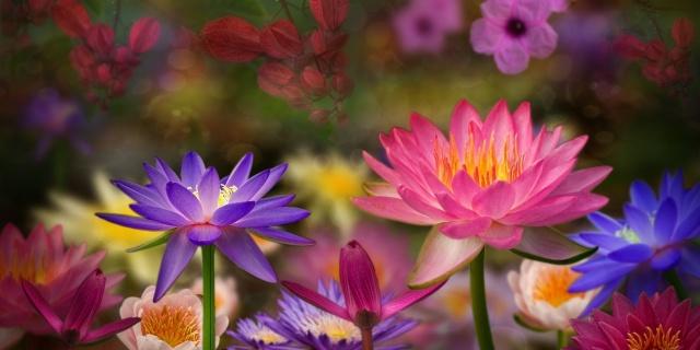 лотос, природа, квіти, фотошоп, робота