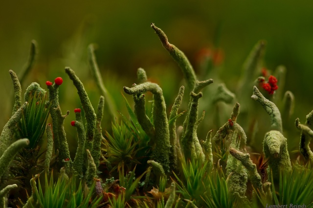 macro world, Cladonia, lichen, grass