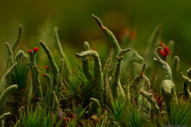 макро світ, Кладония, лишайник, трава