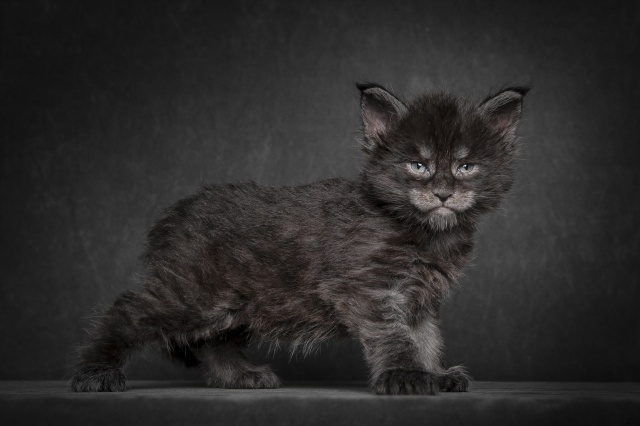 Maine Coon, kitten, cat, black, background