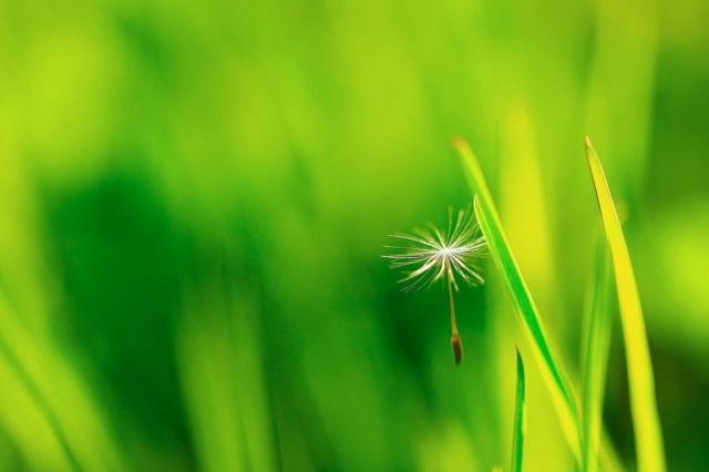 dandelion, umbrella, beauty