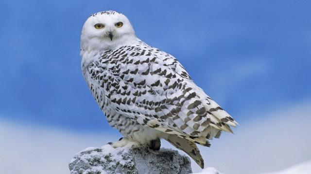 сова, птиця, сніг, дикий, літати