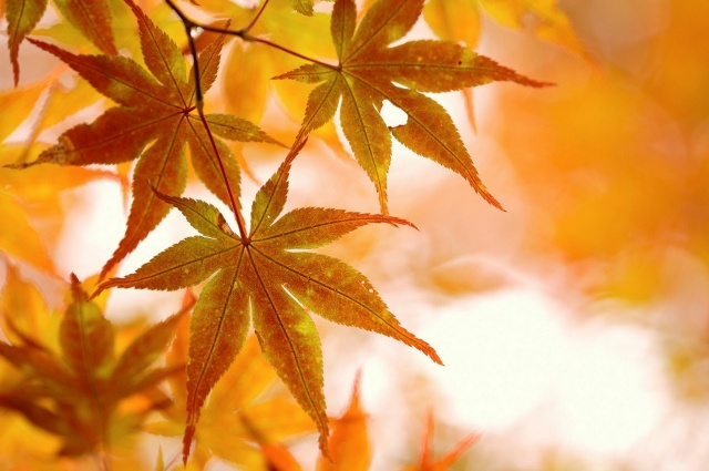 autumn, leaves, beauty, branch, Maple, light
