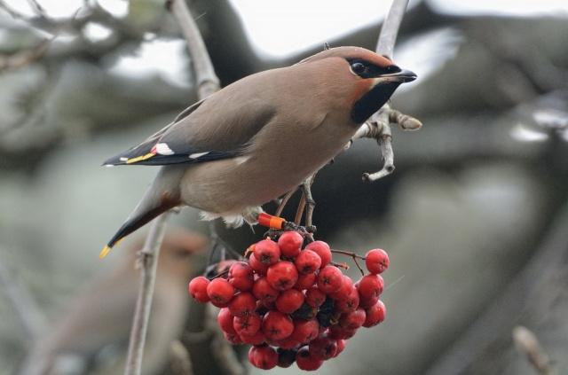 птиця, Горобина, краса, птахи світу, Свиристель