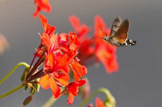 метелик, квіти, Бражник, краса