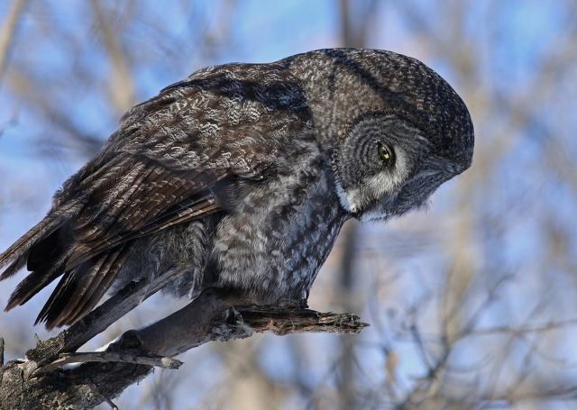 птиця, Сова, птахи світу, краса