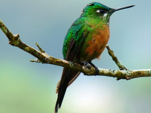 колібрі, птиця, птахи світу, краса