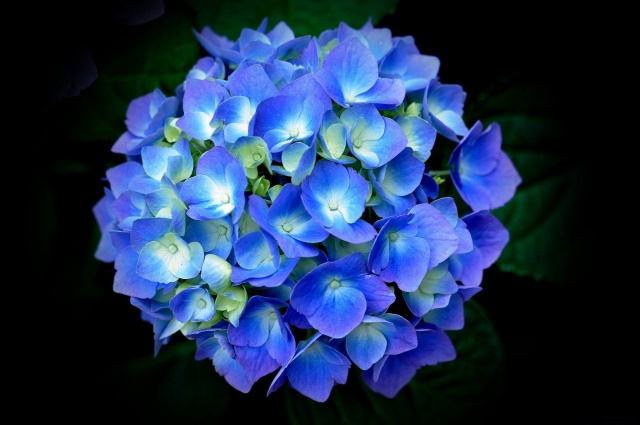 гортензія, блакитна, пелюстки, листя, чорний фон