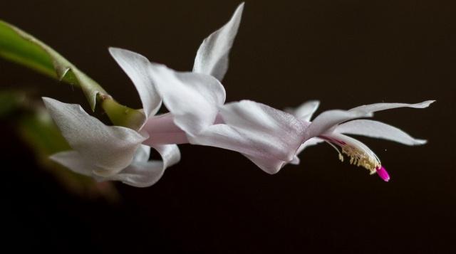 квітка, пелюстка, краса