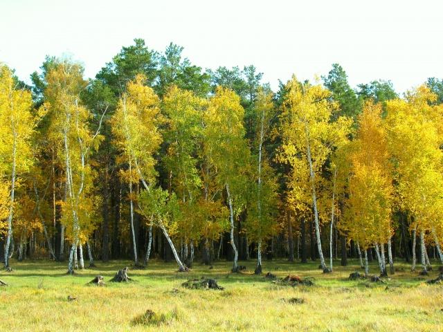 осень, природа, лес, поляна, болото, береза