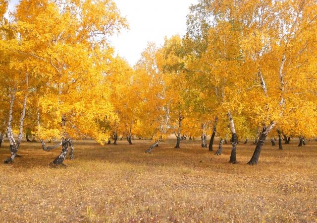 челкар, осень, береза, листва, деревья, лес, октябрь, золотой лес, желтый