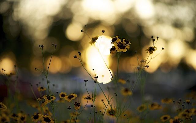květiny, okvětní lístky, žlutá, vinný, stonky, západ slunce, boke