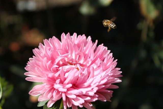 růžová, včela, makro