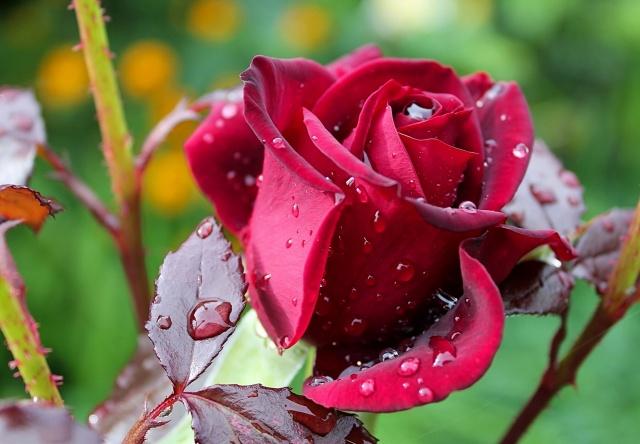 роза, макро, роса, капли