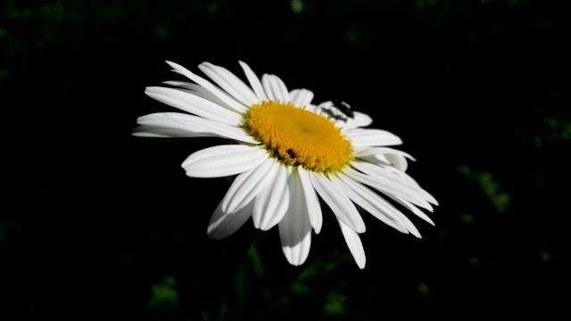 chamomile, beetle, black and white