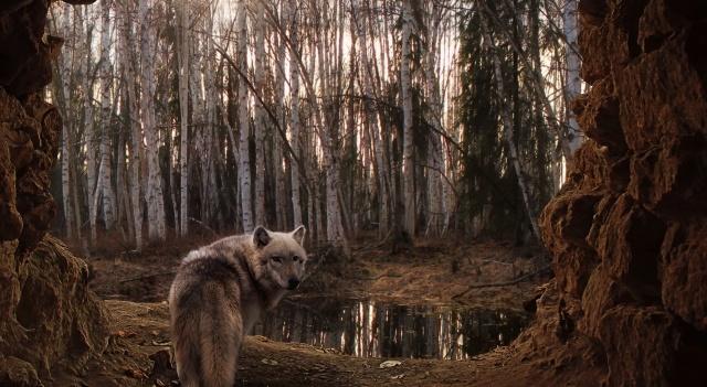 лес, озерцо, волк
