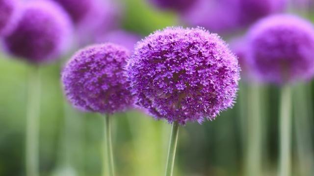 фиолетовый, симфония, филиал, цветок