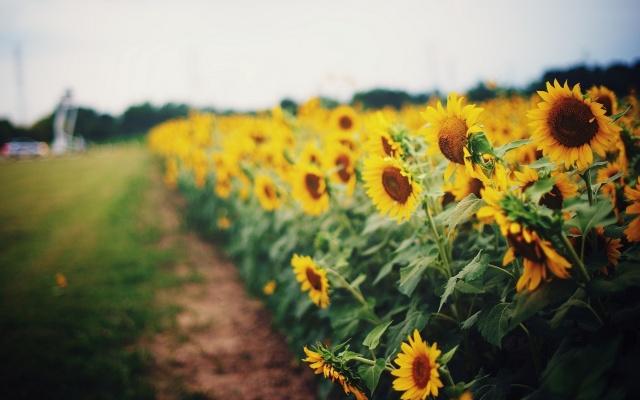 поле, природа, літо, соняшники, макро, фото, тема, Украина, красиво