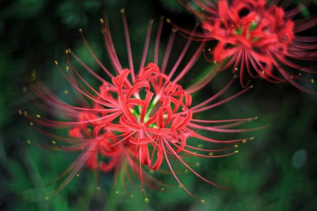 květiny, červené, makro, okvětní lístky, malty tloučky, ЛУКОРИС РАДИАТА