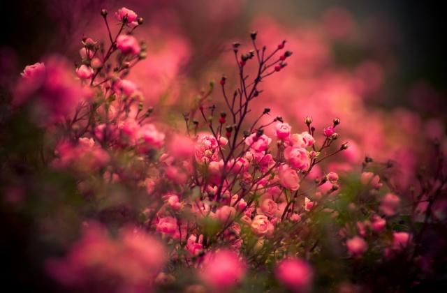 květiny, růže, květ, květiny, rose, růže, příroda