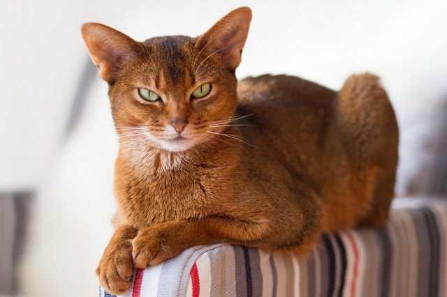 кошка, Абиссинская, красота