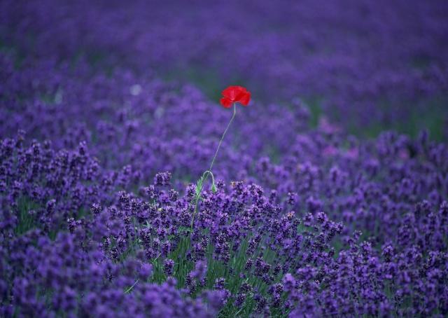 levandule, mc, pole, květiny