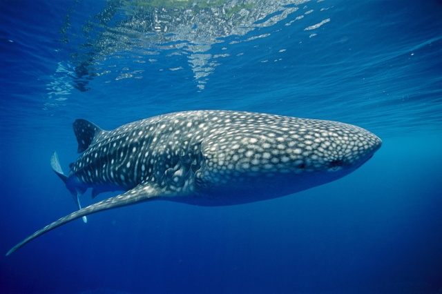 photo, under water, whale shark, beautiful, giant, blue background