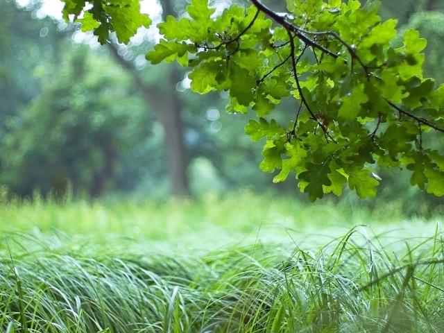 дерево, дуб, лес, ветка, листья, зеленый, трава