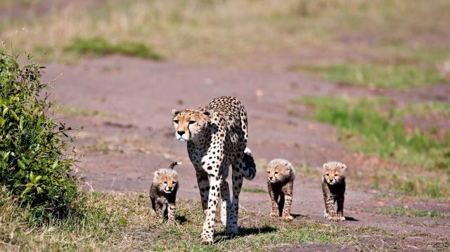 гепарды, мама с малышами