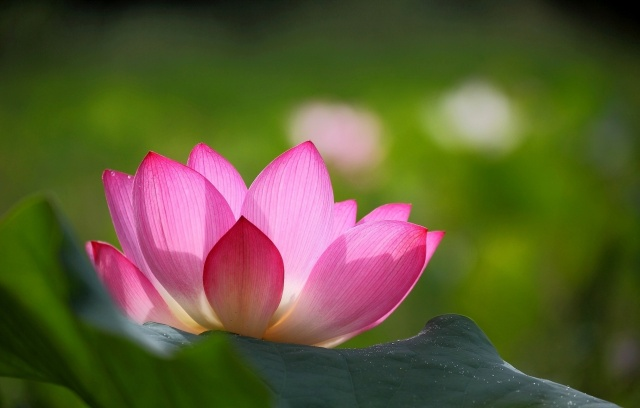 Lotus, flower, macro, photo, theme