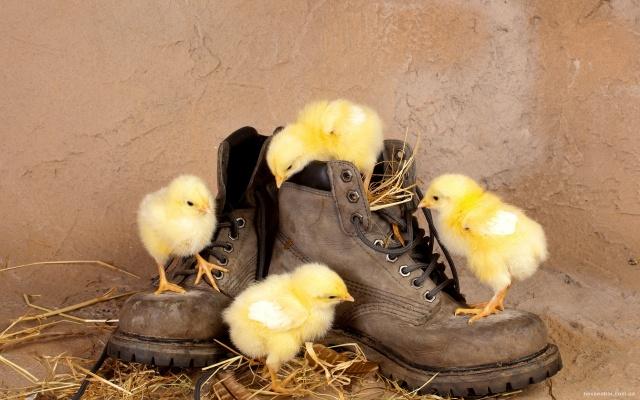 zeď, sláma, boty, kuřata