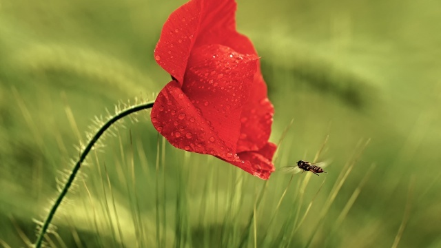квітка, бджола, росса