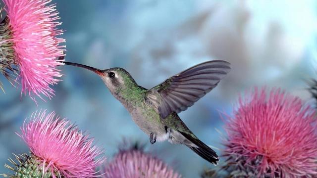 hummingbirds, flowers, feeding on flower nectar