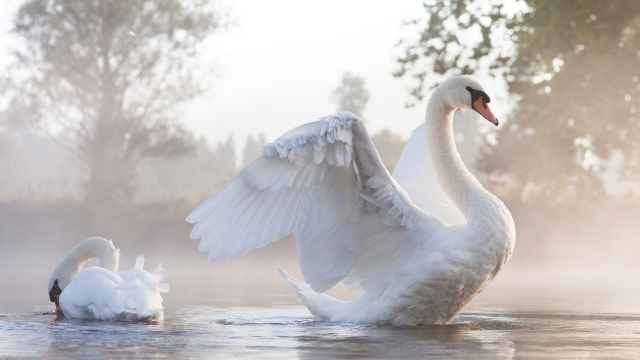 Swan, spread, large, white, wings, grace, beautiful, bird
