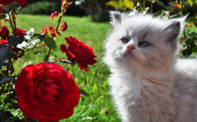 белый котенок, алая роза