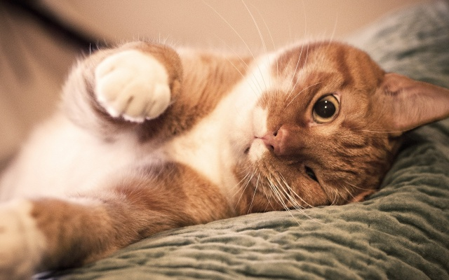 кот, котик, рыжий, морда, лапка, глаза