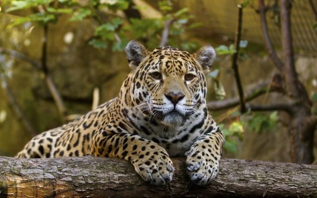 Дикая кошка, хищьник, бревно, зоопарк