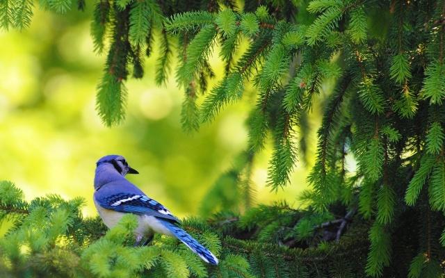 Американский, голубая сойка, птица, листья, дерево