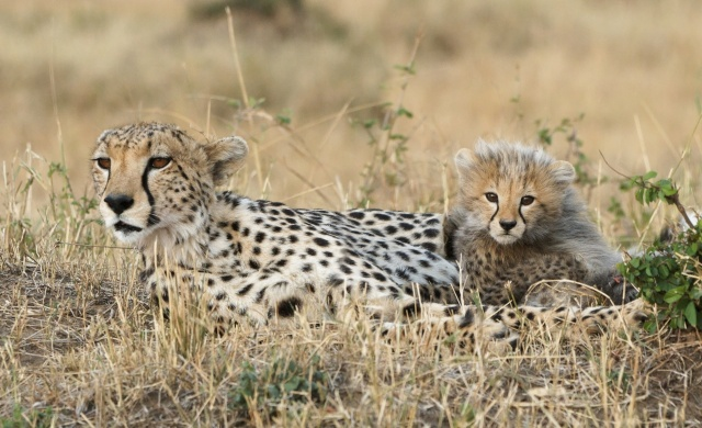 гепарди, мама і кошеня