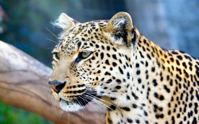 леопард, коряга