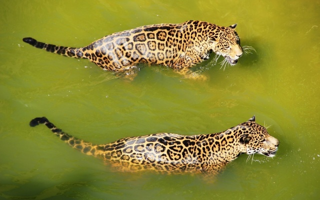 river, greenish water, a pair of leopards swimming
