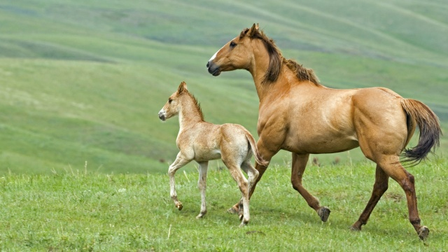 horse, with foal