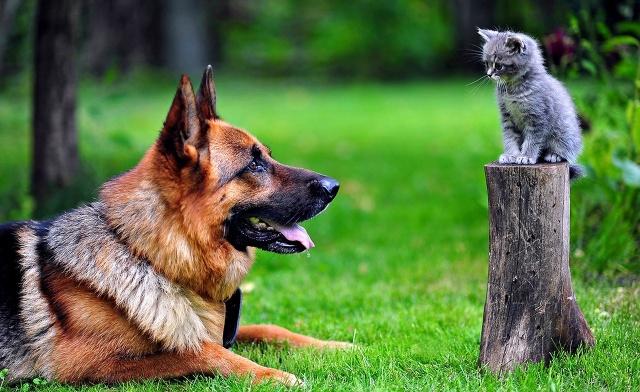 German shepherd, cat, nature, macro, photo, nature, the situation, delight, positive